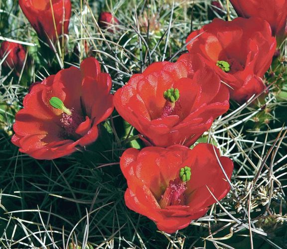 Spring Cactus Flowers