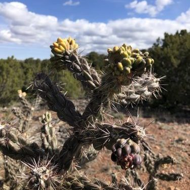 Tree Cholla Cactus in bloom