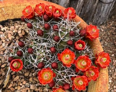 Claret Cup cactus blooming on May 22