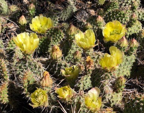 Prickly Pear flowering