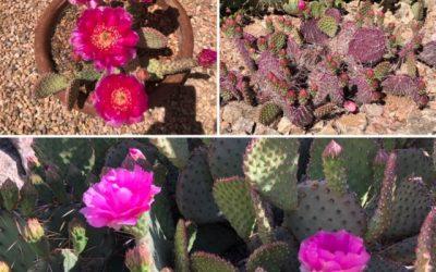 Eldorado Cactus Garden